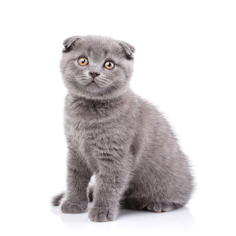 Gatinho da dobra do Scottish Gatinho macio que senta-se lateralmente, o isolado fotografia de stock