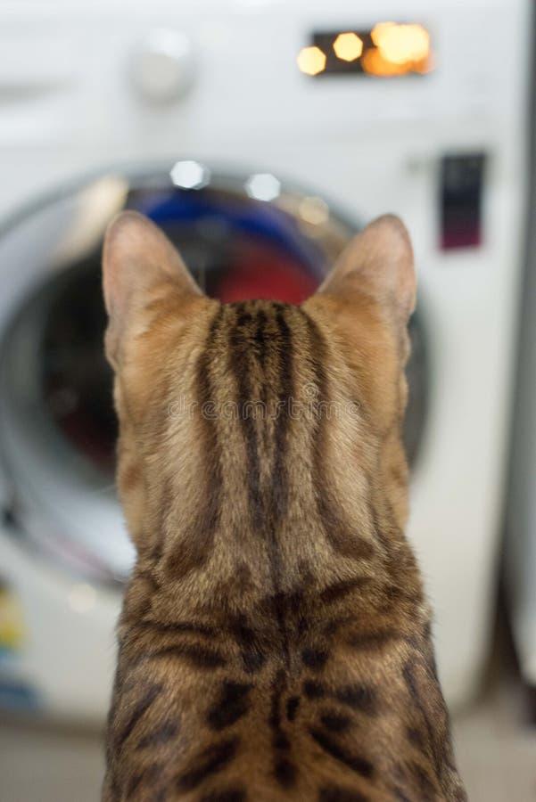 Gatinho de Bengal contra lavanderia fotos de stock royalty free