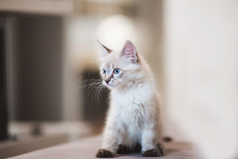 Gatinho de Neva Masquerade do SIberian com os olhos azuis bonitos que sentam-se dentro Retrato do close up do gatinho bonito com  fotografia de stock