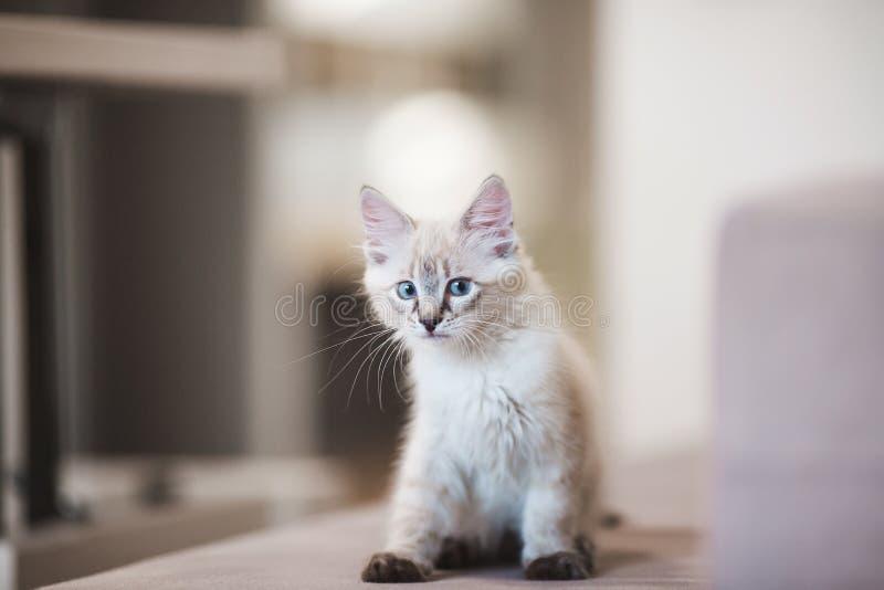 Gatinho de Neva Masquerade do SIberian com os olhos azuis bonitos que sentam-se dentro Retrato do close up do gatinho bonito com  foto de stock royalty free