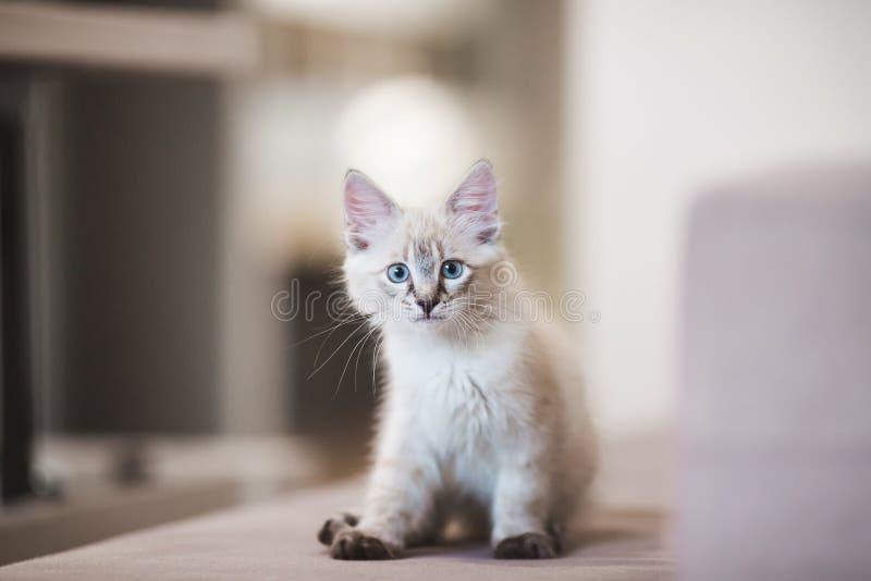 Gatinho de Neva Masquerade do SIberian com os olhos azuis bonitos que sentam-se dentro Retrato do close up do gatinho bonito com  imagem de stock