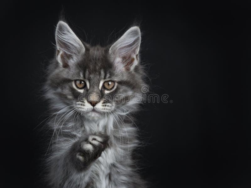 Gatinho de prata azul impressionante do gato de Maine Coon, isolado no fundo preto imagem de stock royalty free