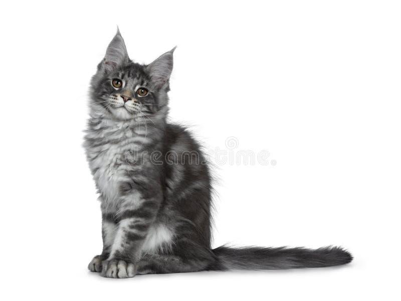 Gatinho de prata azul de sorriso do gato de Maine Coon no fundo branco fotografia de stock royalty free