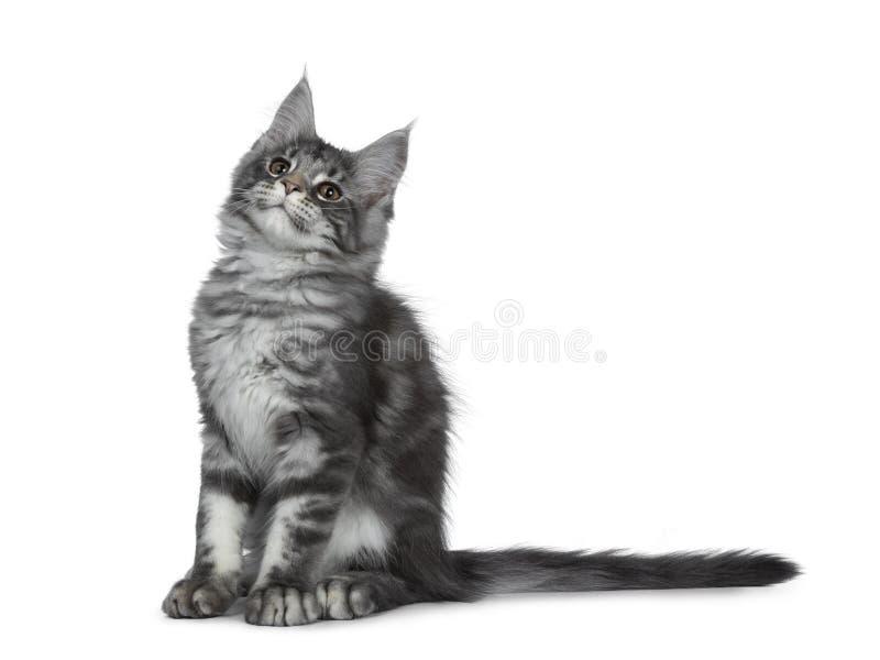 Gatinho de prata azul de sorriso do gato de Maine Coon no fundo branco foto de stock