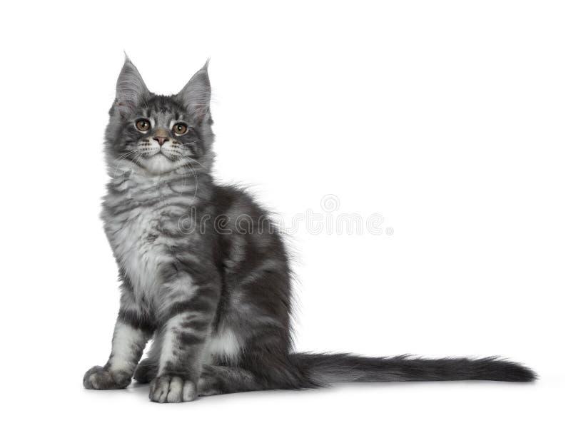 Gatinho de prata azul de sorriso do gato de Maine Coon no fundo branco fotografia de stock