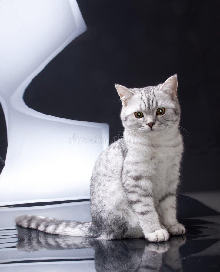 Gatinho de prata da dobra do Scottish do gato malhado imagem de stock