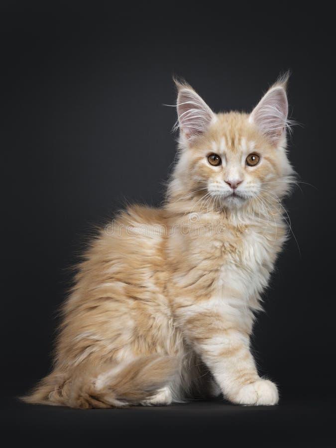 Gatinho de prata vermelho majestoso do gato de Maine Coon no preto fotografia de stock
