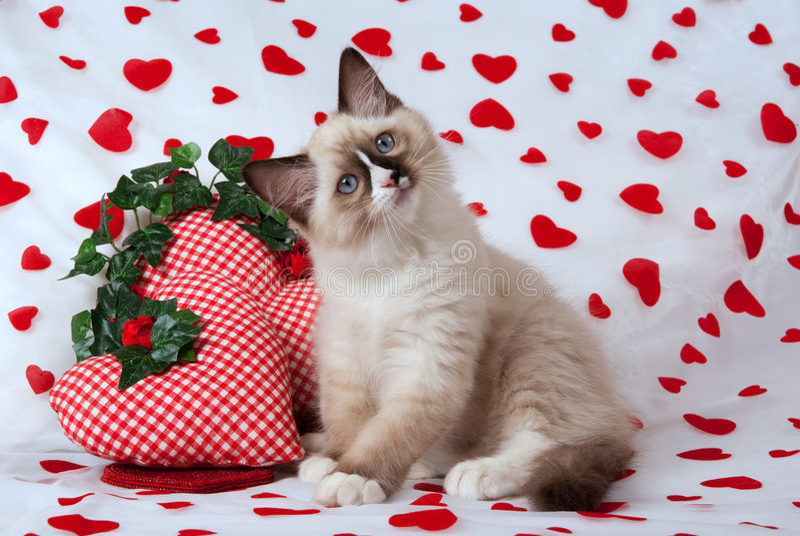 Gatinho de Ragdoll com tema do Valentim imagem de stock royalty free
