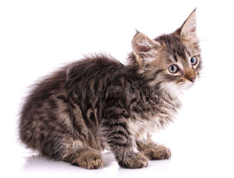 Gatinho desabrigado Isolado em um fundo branco fotografia de stock