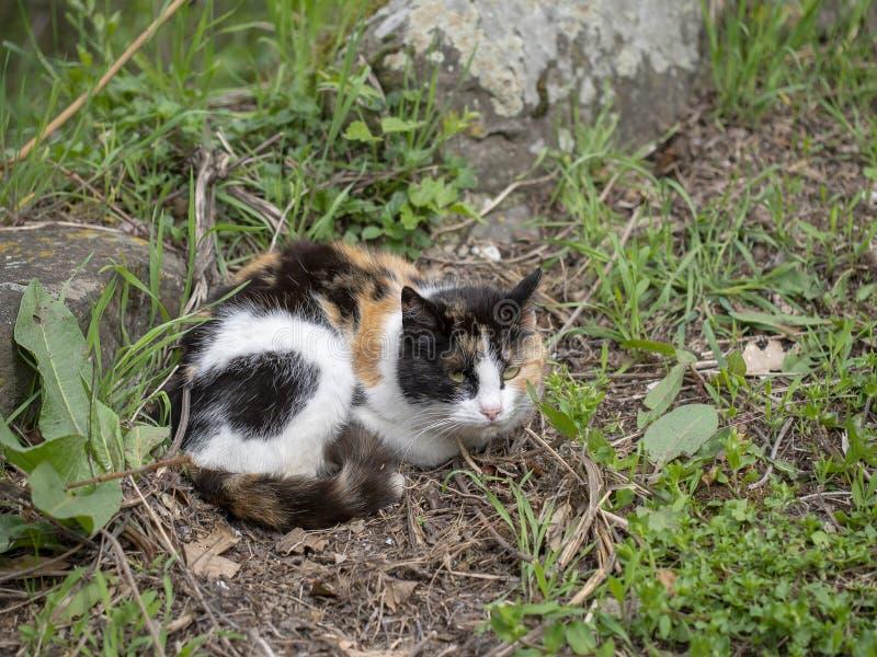 Gatinho disperso, gato pequeno Ar livre tricolor da chita imagem de stock royalty free