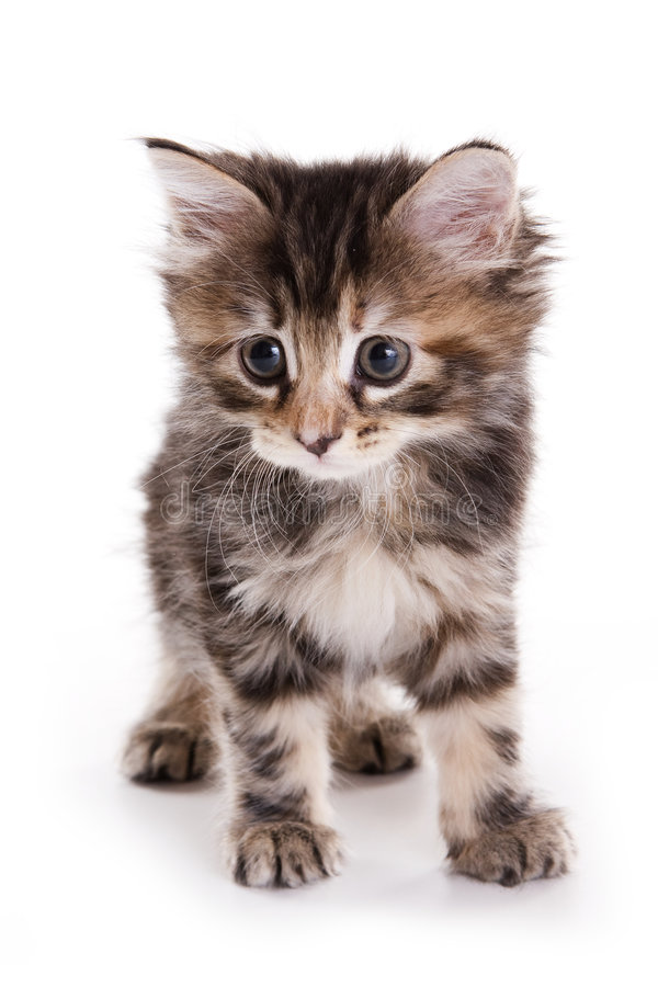 Gatinho do Bobtail de Kuril fotografia de stock royalty free