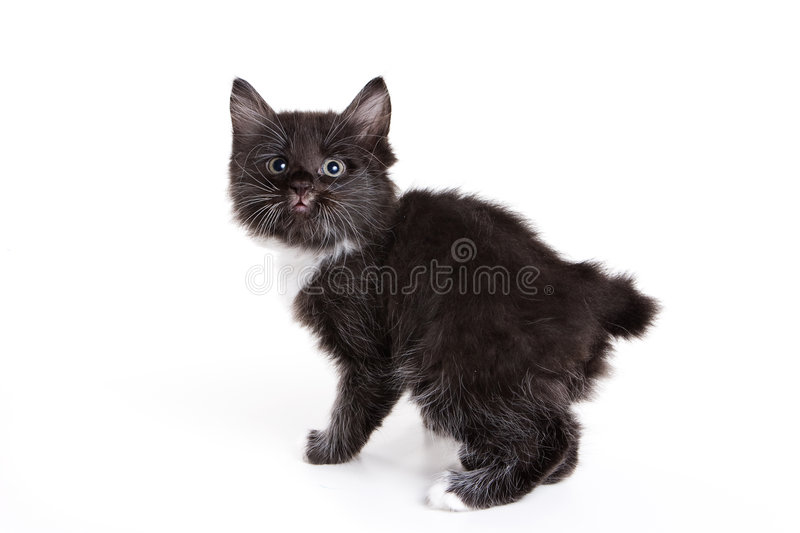 Gatinho do Bobtail de Kuril fotografia de stock