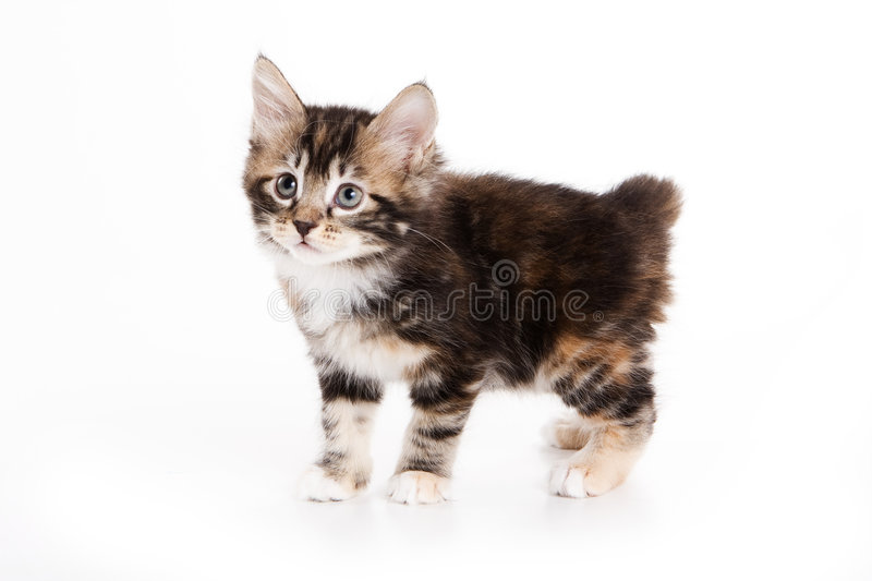 Gatinho do Bobtail de Kuril foto de stock royalty free