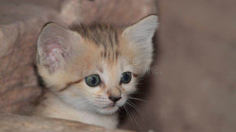 Gatinho do gato de areia fotografia de stock royalty free