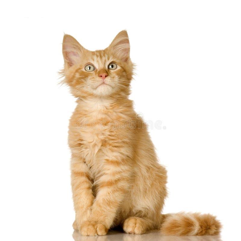 Gatinho do gato do gengibre fotografia de stock royalty free