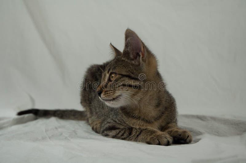 Gatinho do gato malhado foto de stock