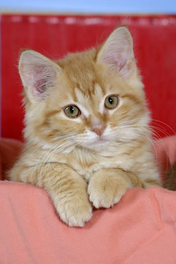Gatinho do gato malhado imagem de stock