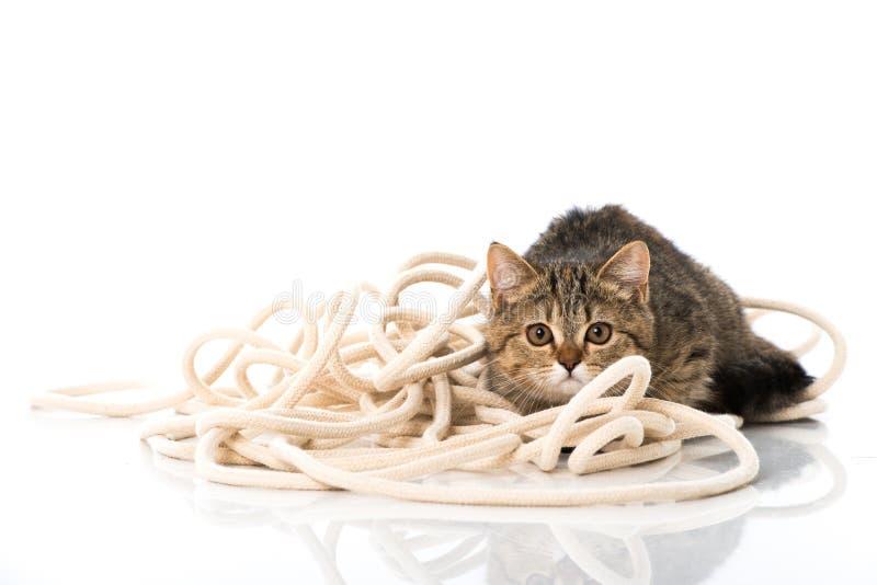 Gatinho do gato malhado que joga com uma corda fotos de stock