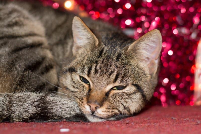 Gatinho do Natal com a decoração vermelha da luz de Natal imagem de stock