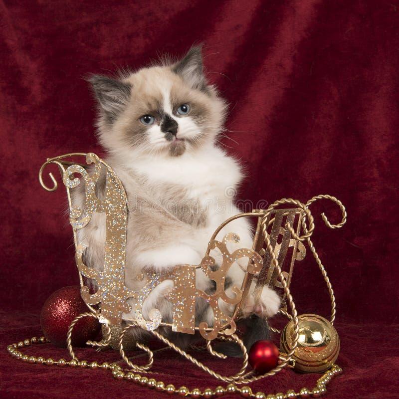 Gatinho do ragdoll do bebê com os olhos azuis que sentam-se em um trenó do Natal imagem de stock royalty free