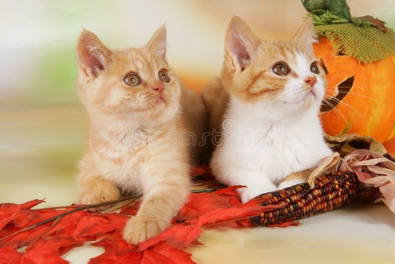 Gatinho do shorthair de dois ingleses com folhas de outono imagens de stock