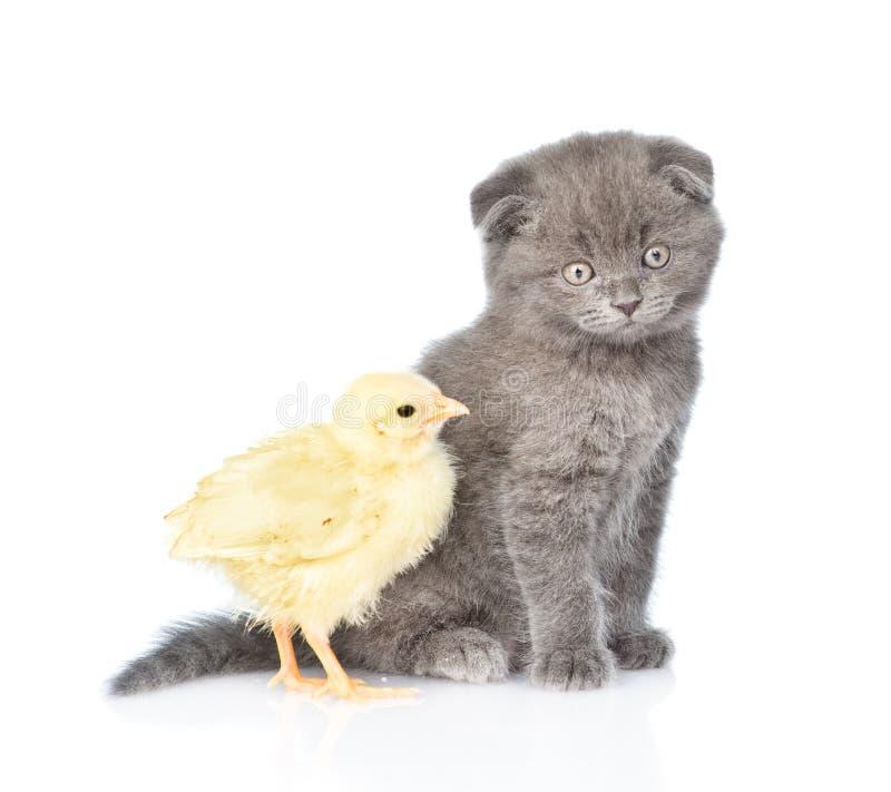 Gatinho e pintainho que sentam-se junto em um perfil Isolado no branco fotografia de stock royalty free