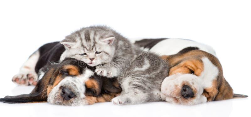 Gatinho engraçado que encontra-se no cão de basset dos cachorrinhos Isolado no branco imagens de stock royalty free