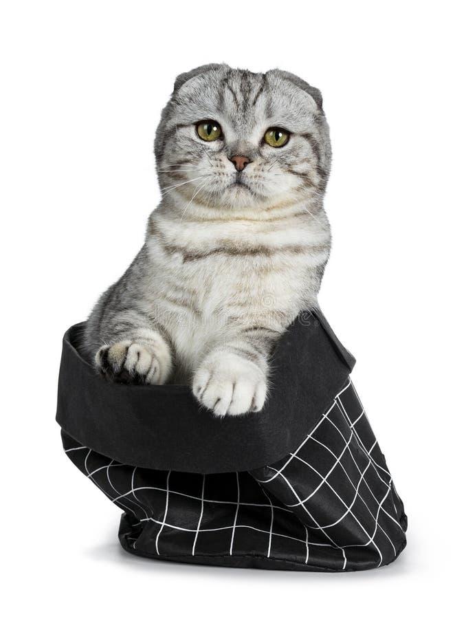 Gatinho escocês do gato da dobra do gato malhado de prata novo bonito, isolado no fundo branco imagens de stock