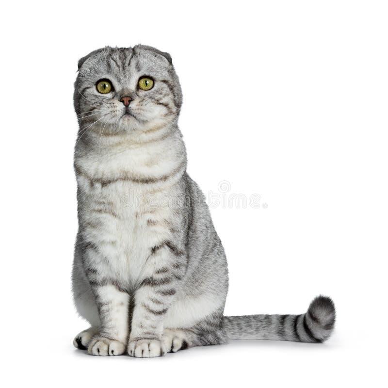Gatinho escocês do gato da dobra do gato malhado de prata novo bonito, isolado no fundo branco imagem de stock