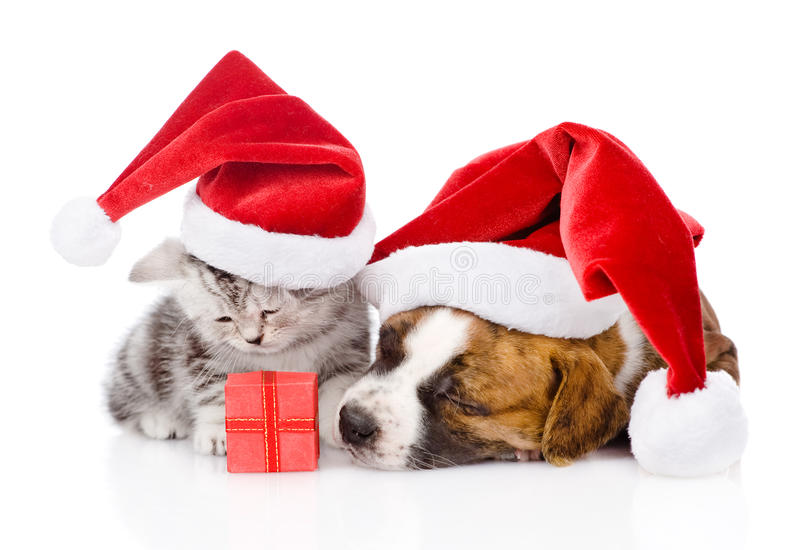 Gatinho escocês e cachorrinho pequeno com chapéu de Santa Isolado no whit fotografia de stock