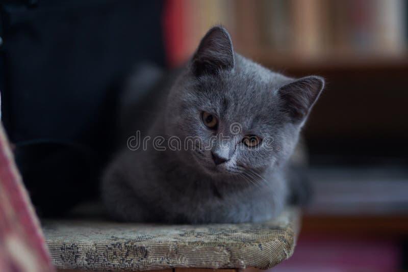 Gatinho escocês pequeno que senta-se em uma cadeira imagem de stock