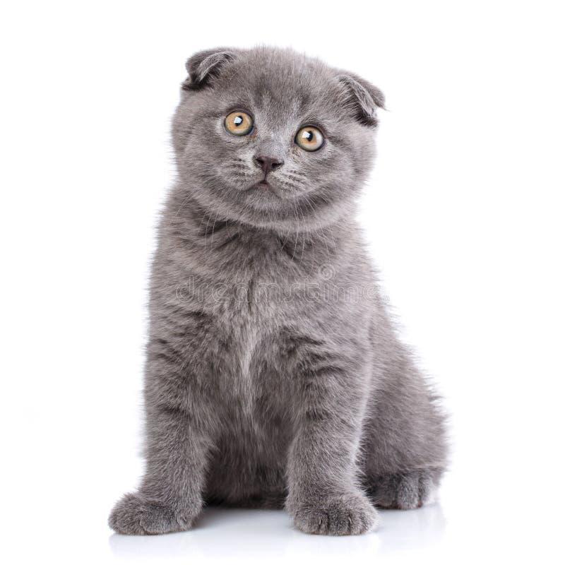 Gatinho escoc?s da dobra isolado em um fundo branco O gato olha para a frente imagens de stock
