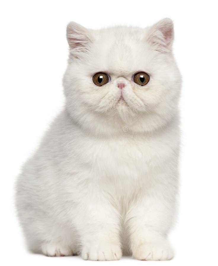Gatinho exótico de Shorthair, 4 meses velho, sentando-se fotografia de stock royalty free