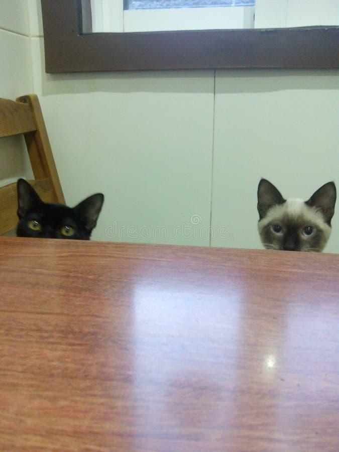 Gatinho koty zdjęcia royalty free