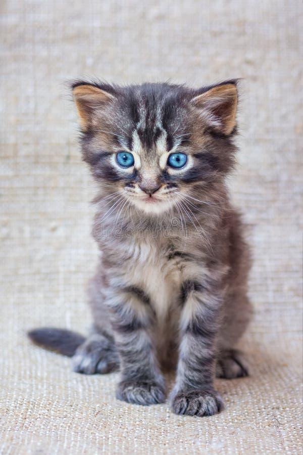 Gatinho listrado pequeno com olhos azuis em um b neutro, homogêneo fotografia de stock