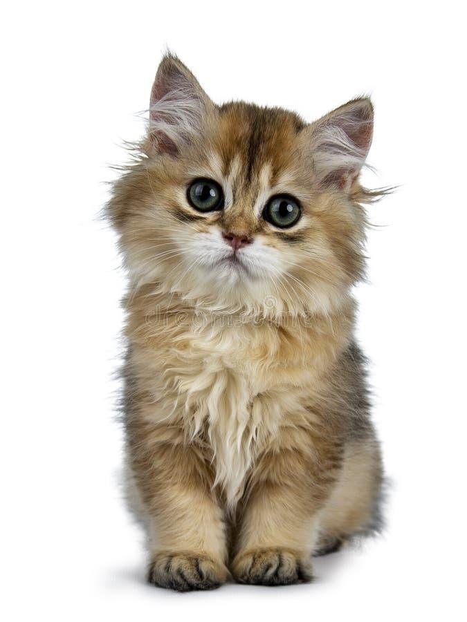 Gatinho longhair britânico dourado bonito do gato no fundo branco foto de stock royalty free