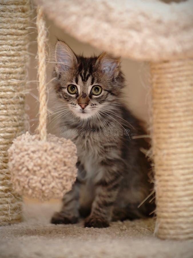 Gatinho macio cinzento listrado fotografia de stock