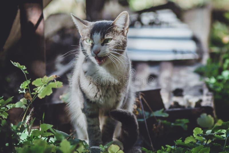 Gatinho miando do gato malhado fora fotos de stock