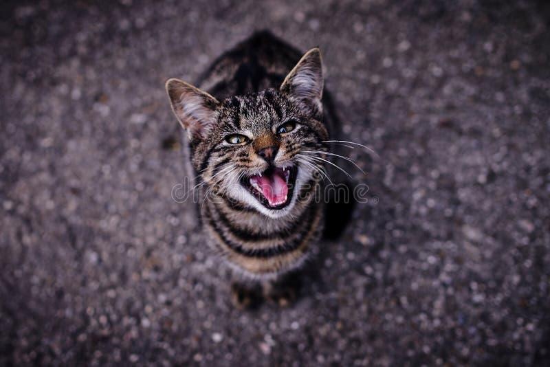 Gatinho miando do gato malhado que está muito com fome fotografia de stock royalty free