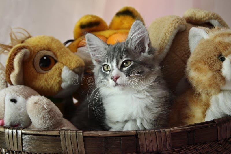 Gatinho norueguês do homem do gato da floresta imagem de stock