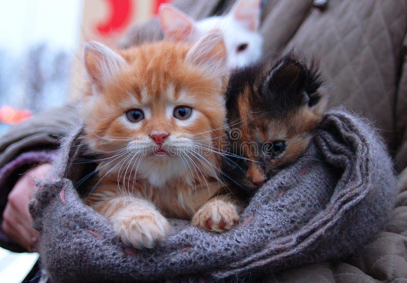 Gatinho para a venda no lenço menino branco alaranjado Foxy-vermelho do gatinho e menina marrom preta do gatinho Gato triste do v fotografia de stock royalty free
