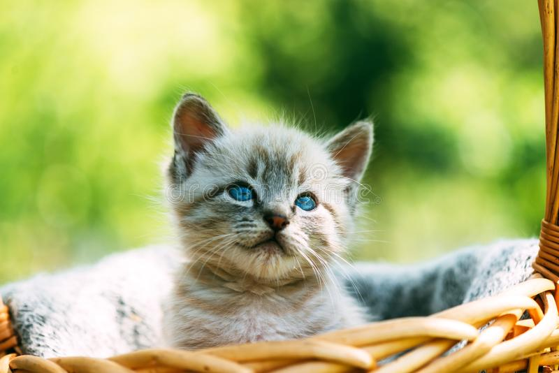 Gatinho pequeno com os sim azuis na cesta fotografia de stock royalty free