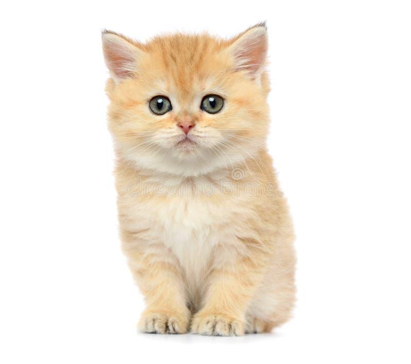 Gatinho pequeno no fundo branco fotografia de stock