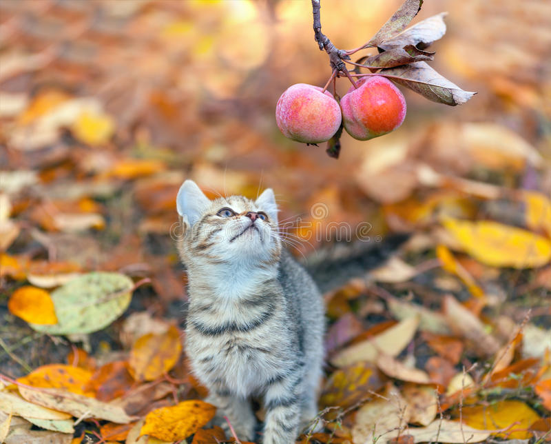 Gatinho pequeno que olha o ramo com maçãs fotos de stock