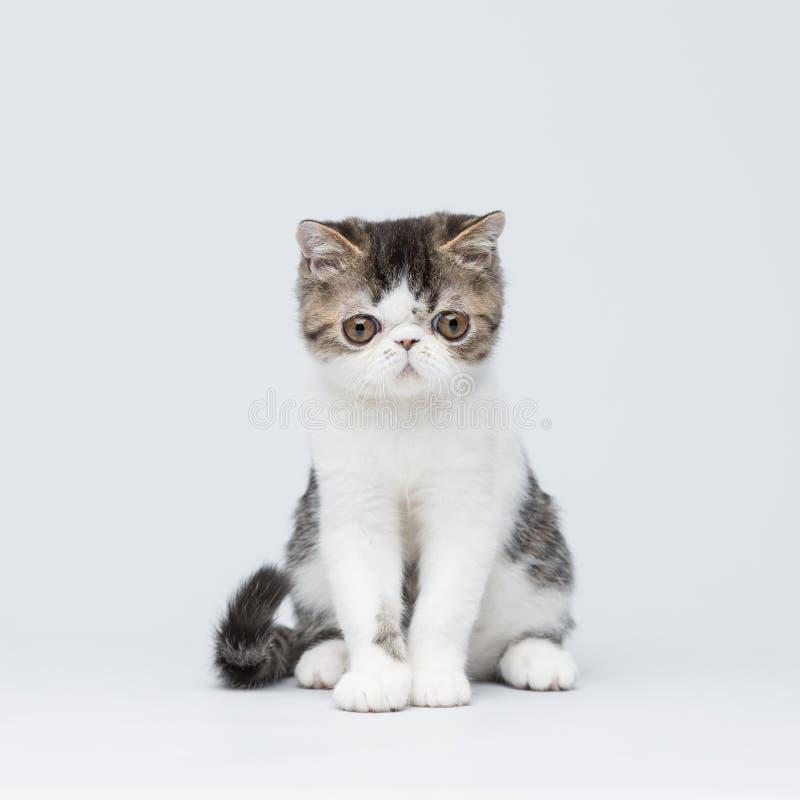 Gatinho persa bonito do shorthair isolado imagem de stock