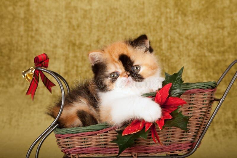 Gatinho persa da chita vermelha que senta-se dentro do trenó do Natal no fundo do ouro verde imagens de stock