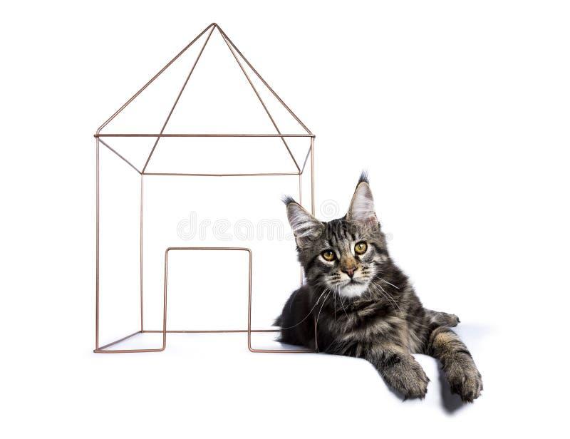 Gatinho preto do gato de Maine Coon do gato malhado fotografia de stock royalty free