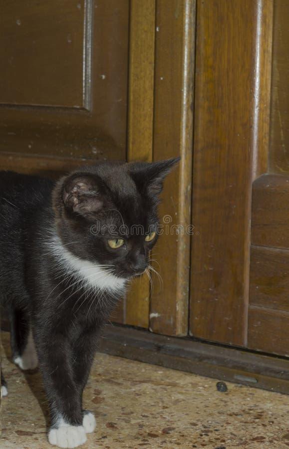 Gatinho preto e branco bonito no primeiro plano que anda no assoalho imagem de stock