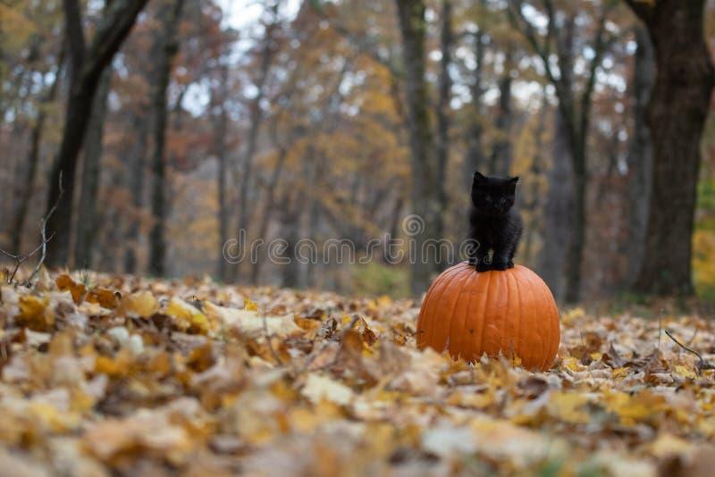 Gatinho preto que senta-se na abóbora na floresta foto de stock royalty free