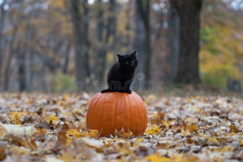 Gatinho preto que senta-se na abóbora na floresta imagens de stock royalty free